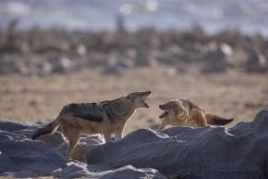 Howling jackal,