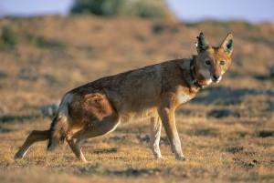 Ethiopian-Wolf_Laurent-Geslin_06