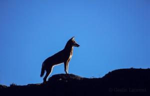 Ethiopian-Wolf_Laurent-Geslin_07
