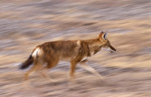 Ethiopian-Wolf_Laurent-Geslin_09