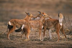 Ethiopian-Wolf_Laurent-Geslin_10