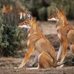 Ethiopian-Wolf_Laurent-Geslin_11