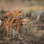 Ethiopian-Wolf_Laurent-Geslin_12
