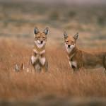 Ethiopian-Wolf_Laurent-Geslin_14