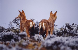 Ethiopian-Wolf_Laurent-Geslin_17
