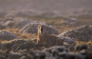 Ethiopian-Wolf_Laurent-Geslin_18