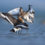 Black tailed godwits (Limosa Limosa) fighting, Lake Belau, Moldova.