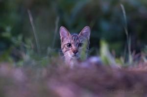 Wild cat (Felis silvestris) portrait, Codrii Forest Reserve, Moldova.