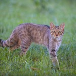 Wild cat (Felis silvestris) in long grass, Codrii Forest Reserve, Moldova.