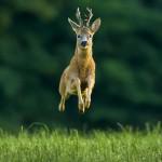 Roe deer buck (Capreolus capreolus),