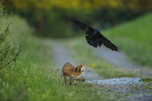 Red fox (Vulpes vulpes) and carrion crow (Corvus corone)...
