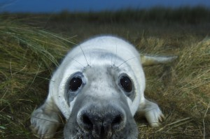 Grey seal (Halichoerus grypus) pup, portrait, Donna Nook, Lincolnshire, UK