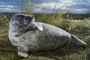 Young grey seal (Halichoerus grypus), Donna Nook, Lincolnshire, UK