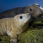 Grey seal (Halichoerus grypus) with pup at breeding site in dunes, Donna Nook, Lincolnshire, UK