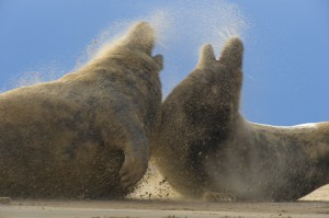Two Grey seals (Halichoerus grypus) aggressive behaviour, wind blowing sand.