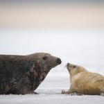 Grey seal (Halichoerus grypus) with pup in snow, Donna Nook, Lincolnshire, UK