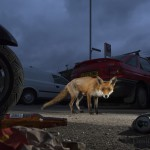 Urban Red fox (Vulpes vulpes) near parked vehicles with litter on the ground.