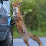 Urban fox (Vulpes vulpes) standing up against car, London.