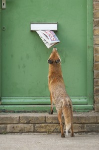 Urban Red fox (Vulpes vulpes) sniffing newspaper hanging out of letter box, London.