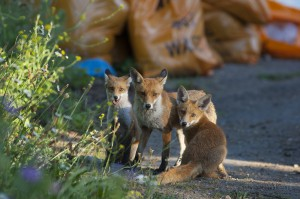 Urban Red fox (Vulpes vulpes) with two cubs, London.