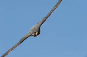 Peregrine falcon (Falco peregrinus) in flight, Barcelona, Spain.