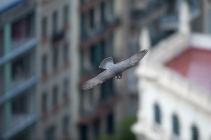 Peregrine falcon (Falco peregrinus) in flight, Barcelona, Spain.