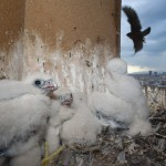 Peregrine falcon (Falco peregrinus) chicks in nest, Sagrada Familia, Barcelona, Spain.