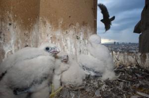 Peregrine falcon (Falco peregrinus) chicks in nest, Sagrada Familia, Barcelona, Spain.
