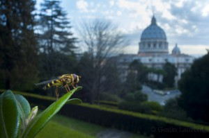Yellow-legged moustached icon hoverfly (Syrphus ribesii) resting on leaf in the Vatican garden with St Peter's in the background, Rome, Italy.