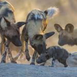 African wild dog, Botswana...