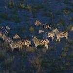 Common zebra, Okavango, Botswana...