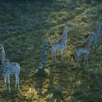Giraffes, Okavango, Botswana...