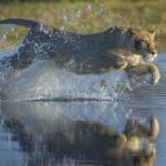 Lionness, Okavango, Botswana...