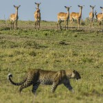 Leopard and Impalas, Masai Mara, Kenya...