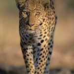Leopard, South Africa...