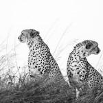 Cheetah, Masai Mara, Kenya...