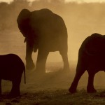 Elephants, Caprivia Strip, Namibia...