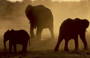 Elephants, Caprivia Strip, Namibia...