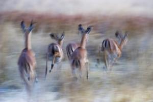 Impalas, Okavango, Botswana...