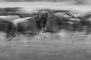 Wildebeest migration, Masai Mara, Kenya...