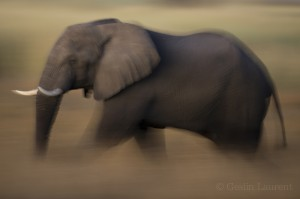 Elephant, Caprivi Strip, Namibia...