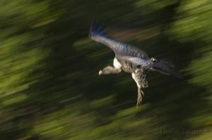 Ruppell's vulture, Masai Mara, Kenya...