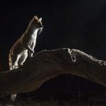 Large spotted genet, Okavango, Botswana...