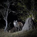 Spotted hyena, Botswana...