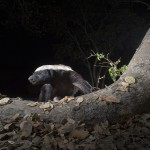 Honey badger, Okavango, Botswana...