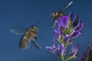 Bees-Colony-collapse-disorder_Laurent-Geslin_05