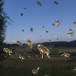 Bees-Colony-collapse-disorder_Laurent-Geslin_07