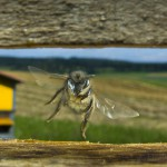 Bees-Colony-collapse-disorder_Laurent-Geslin_09