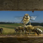 Bees-Colony-collapse-disorder_Laurent-Geslin_10