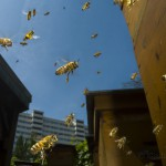 Bees-Colony-collapse-disorder_Laurent-Geslin_11